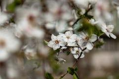 Цветки яблони стоковое фото rf