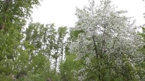 Цветки яблони цвести белые акции видеоматериалы