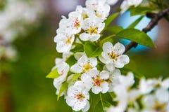 Цветки яблока весна предпосылки яркая Стоковое Изображение RF