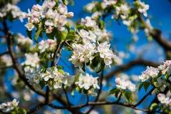 Цветки яблока весна предпосылки яркая Стоковые Фото