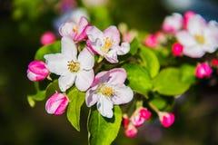 Цветки яблока весна предпосылки яркая Стоковое Фото