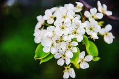 Цветки яблока весна предпосылки яркая Стоковые Изображения
