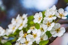 Цветки яблока весна предпосылки яркая Стоковая Фотография