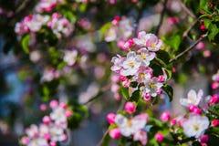Цветки яблока весна предпосылки яркая Стоковая Фотография RF