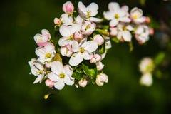 Цветки яблока весна предпосылки яркая Стоковые Изображения RF