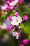 Цветки яблока весна предпосылки яркая Стоковое фото RF
