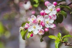 Цветки яблока весна предпосылки яркая Стоковые Фотографии RF
