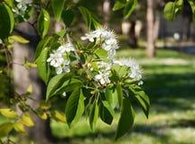 Цветки Яблока Весна Стоковые Фотографии RF