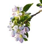 Цветки яблока Комплект цветков яблока изолированных на белизне Apple Стоковые Фото