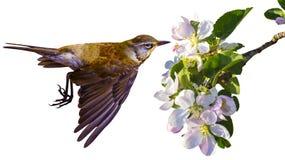 Цветки яблока Комплект цветков яблока изолированных на белом backgro Стоковые Изображения