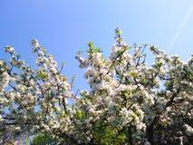 Цветки Яблока Стоковые Фото