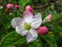 Цветки Яблока Стоковое фото RF