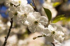 Цветки яблони Стоковое Изображение RF