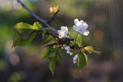 Цветки яблони Стоковые Фото