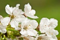 Цветки яблонь Стоковое фото RF