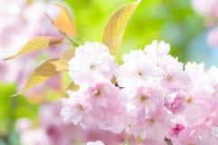 Цветки японской вишни (serrulata сливы) весной против Стоковое Изображение RF