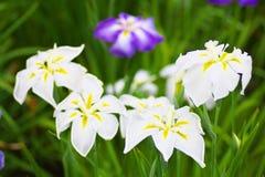 Цветки японской радужки Стоковые Изображения RF