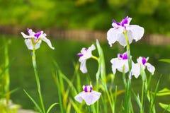 Цветки японской радужки Стоковое фото RF