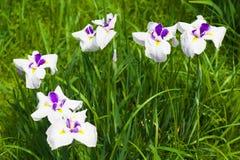 Цветки японской радужки Стоковые Фото