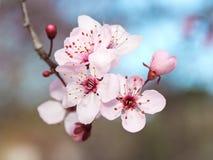 Цветки японской сливы Стоковая Фотография