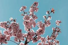 Цветки японца Сакуры Вишневый цвет весны в ботаническом саде Подкрашиванное фото Стоковые Фото