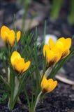 Цветки яркого желтого крокуса Sativus, большой детальный вертикальный крупный план крокусов весны Стоковое фото RF