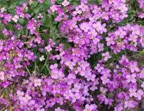 Цветки Abrieta Стоковые Изображения RF
