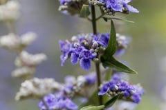 Цветки agnus-castus Vitex Vitex стоковые изображения