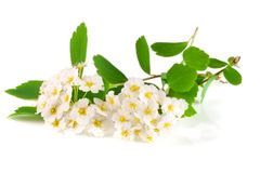 Цветки aguta Spirea или венка невест изолированных на белом конце-вверх предпосылки Стоковые Фотографии RF