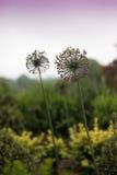 Цветки Alium Стоковое Изображение