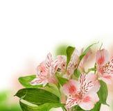 Цветки Alstroemeria Стоковое Изображение RF