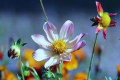 Цветки amily стоковое изображение