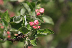 цветки Apple-вала Стоковое Фото