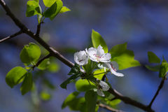 цветки Apple-вала Стоковое фото RF