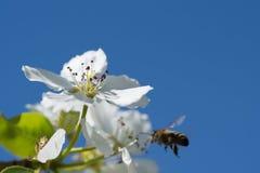 цветки Apple-вала Стоковые Фотографии RF