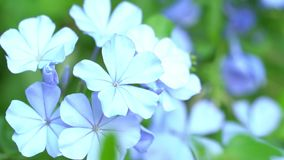 Цветки Auriculata плумбаго красочные сток-видео