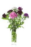 Цветки Barbatus гвоздики на белой предпосылке Стоковое фото RF