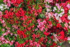 Цветки barbatus гвоздики (сладостного Вильяма) Стоковое Фото
