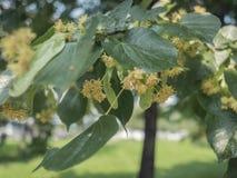 Цветки Basswood на дереве с листвой Цветки липы зацветая на липе Blossoming teil с деталью на цветках стоковые фото