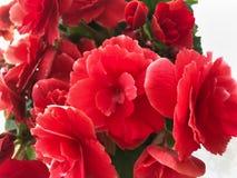Цветки Bautiful красной бегонии с листьями стоковая фотография rf