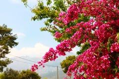 Цветки Begonvil красные на улице Kemer Стоковое Изображение RF