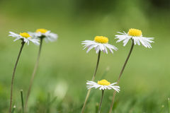 Цветки Bellis в лужайке Стоковое фото RF