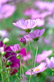 Цветки Bipinnatus космоса в саде Стоковые Изображения RF