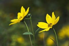 Цветки Black-eyed Сьюзан Стоковое Изображение