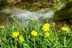 Цветки Blowball Стоковое Изображение RF