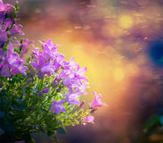 Цветки Bluebell на предпосылке природы захода солнца стоковая фотография rf