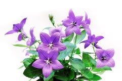 цветки bluebell Стоковые Фотографии RF
