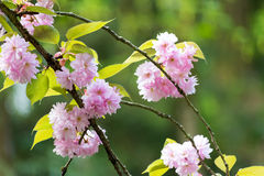 Цветки Bossom вишни Kwanzan стоковая фотография rf
