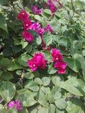 Цветки Bougainvill зацветают стоковая фотография