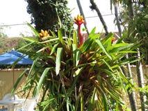 Цветки Bromelia зафиксированные на дереве Стоковые Фотографии RF